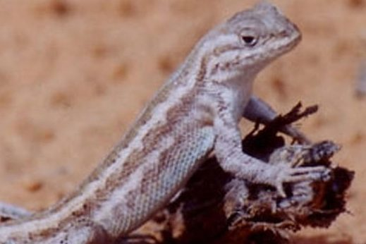 Environmental groups ask feds to protect threatened West Texas lizard
